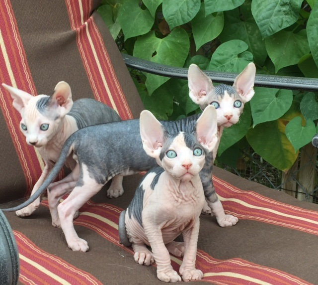 HomeBareenough Sphynx & Lykoi Cattery / Southern California